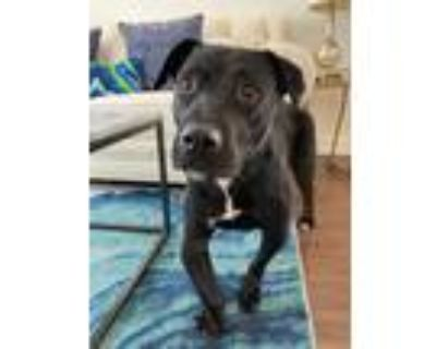 Adopt Amelie a Black - with White Labrador Retriever / Pit Bull Terrier / Mixed