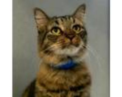 Adopt Parker a Brown or Chocolate Maine Coon / Domestic Shorthair / Mixed cat in