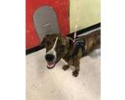 Adopt OLIIE a Boxer, Mixed Breed