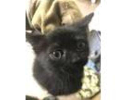 Adopt 47937145 a All Black Domestic Shorthair / Domestic Shorthair / Mixed cat