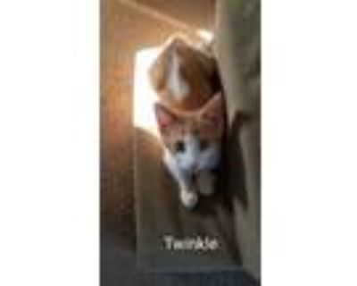 Adopt Twinkle a Orange or Red (Mostly) Domestic Shorthair (short coat) cat in