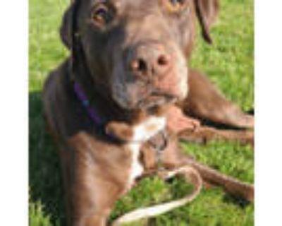 Adopt Mona a Chocolate Labrador Retriever
