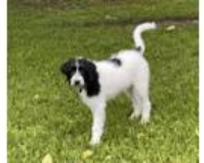 Adopt Lady Bird a Standard Poodle, Great Pyrenees