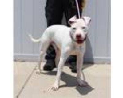 Adopt A693382 a Pit Bull Terrier