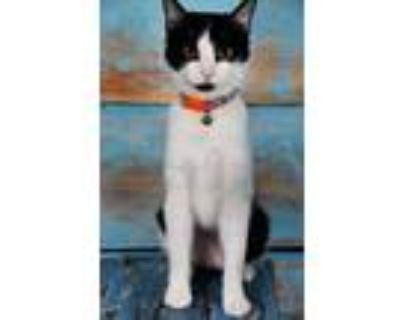 Adopt Kazooie a White Domestic Shorthair / Domestic Shorthair / Mixed cat in