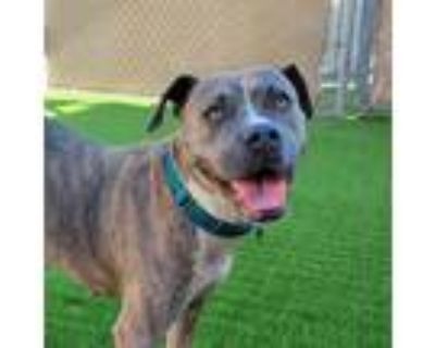 Adopt Roxie a Brindle Boxer / Pit Bull Terrier / Mixed dog in Tempe