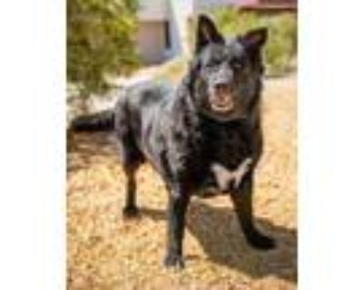 Adopt Gabby a Black Shepherd (Unknown Type) / Collie / Mixed dog in Palm