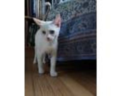 Adopt Tip a Cream or Ivory (Mostly) Siamese (short coat) cat in Commerce City