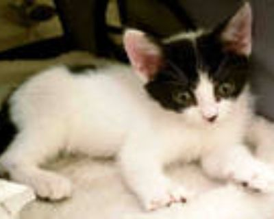 Adopt SPINNER a White (Mostly) Domestic Shorthair / Mixed (short coat) cat in