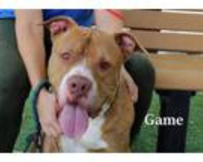 Adopt GAME a Pit Bull Terrier