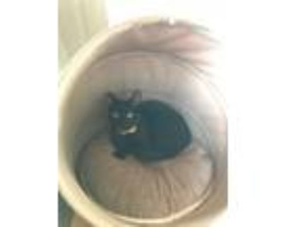 Adopt Angel a All Black American Shorthair (short coat) cat in North Hollywood