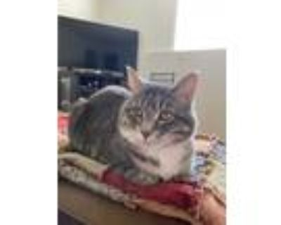 Adopt Bug a Calico or Dilute Calico Maine Coon / Mixed (short coat) cat in