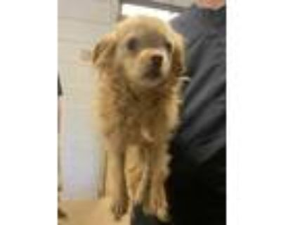 Adopt Rice Crispy* ADOPTED a Tan/Yellow/Fawn Pekingese / Mixed dog in Anderson