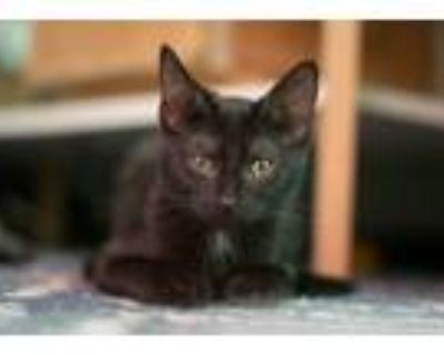 Adopt Muezza a Black & White or Tuxedo Domestic Shorthair / Mixed cat in