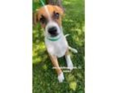 Adopt Joe a White - with Tan, Yellow or Fawn Husky / Terrier (Unknown Type