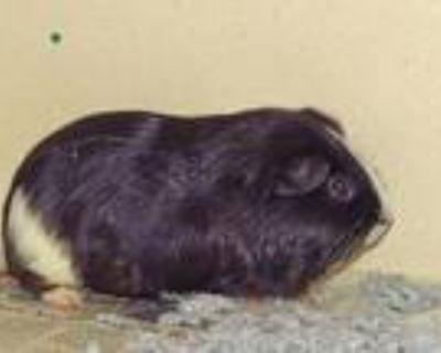 Adopt PEBBLES a Guinea Pig