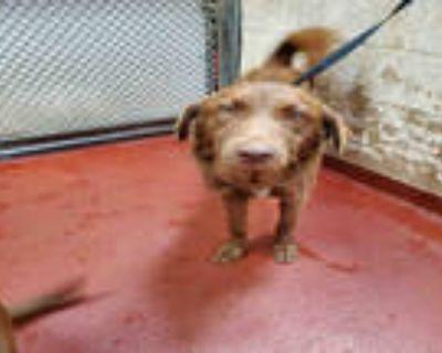 Adopt ROSE a Brown/Chocolate Labrador Retriever / Mixed dog in Atlanta