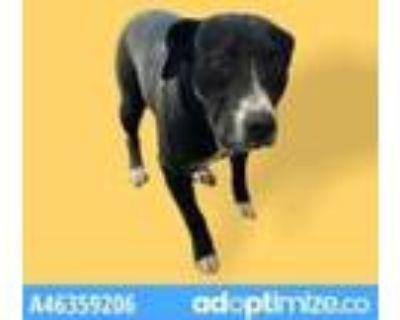 Adopt 46359206 a Black Labrador Retriever / Mixed dog in El Paso, TX (31524067)