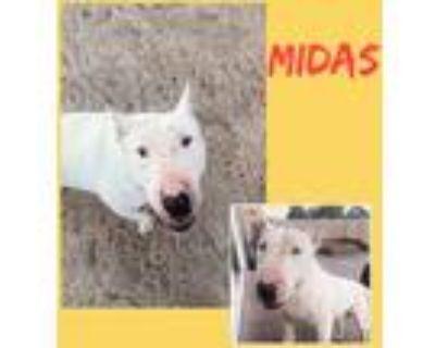 Adopt Midas a White Bull Terrier dog in Colorado Springs, CO (31673950)