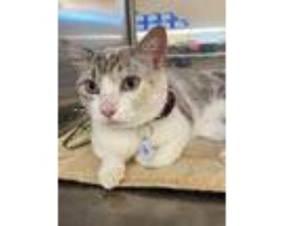 Adopt Sukee a Siamese / Mixed cat in Claremore, OK (32353937)