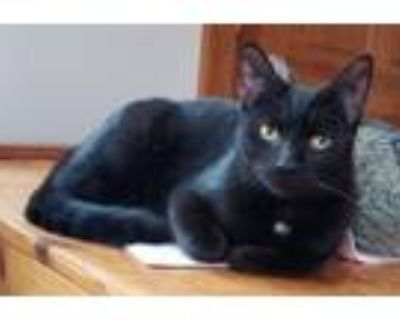 Adopt Twinkle Toes a Domestic Short Hair
