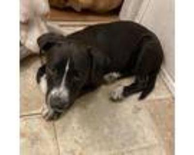 Adopt Simon a Black Labrador Retriever / Border Collie / Mixed dog in El Dorado