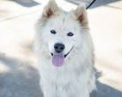 Adopt Ranger a White - with Tan, Yellow or Fawn Siberian Husky / Chow Chow /