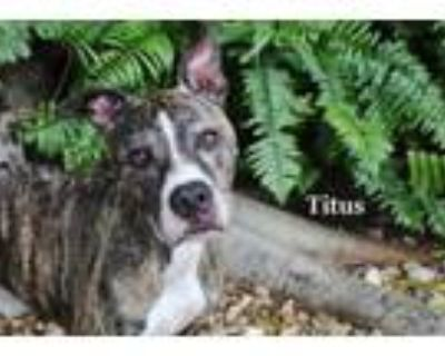 Adopt TITUS a Pit Bull Terrier