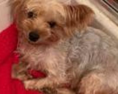Adopt Daisy a Yorkshire Terrier