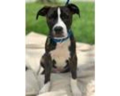 Adopt Raymond a Brindle American Pit Bull Terrier / Mixed dog in Chester