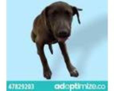Adopt Sienna a Tan/Yellow/Fawn Labrador Retriever / Mixed dog in El Paso