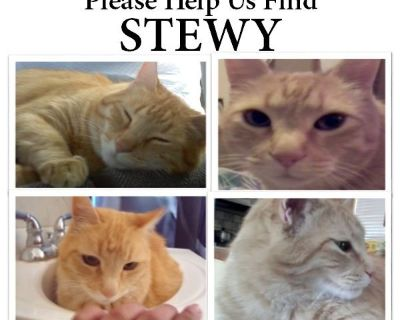 Help to find my Stewy cat