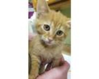 Adopt MR. BABY a Orange or Red Tabby Domestic Shorthair / Mixed (short coat) cat