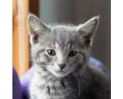 Adopt Beets a Gray, Blue or Silver Tabby Domestic Shorthair / Mixed cat in