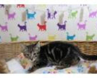 Adopt A551353 a Domestic Short Hair
