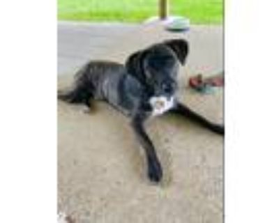 Adopt Astro a Brindle - with White Terrier (Unknown Type
