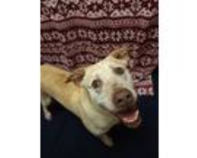 Adopt Scoot a White - with Tan, Yellow or Fawn Labrador Retriever / Mixed dog in