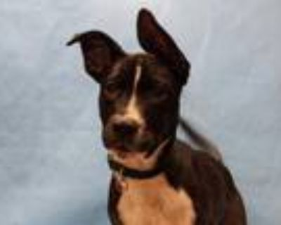 Adopt Bugsy a Black American Pit Bull Terrier / Mixed dog in Coon Rapids