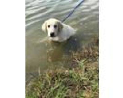 Adopt Elmer a White Labrador Retriever / Great Pyrenees / Mixed dog in