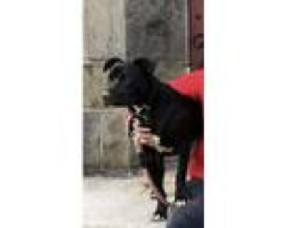 Adopt Marcus a Black - with White Bull Terrier / Retriever (Unknown Type) /