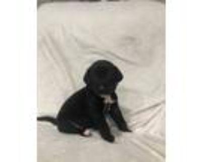 Adopt AMIGO (ADOPTION PENDING ) (LIGHT BLUE COLLAR) a Labrador Retriever /