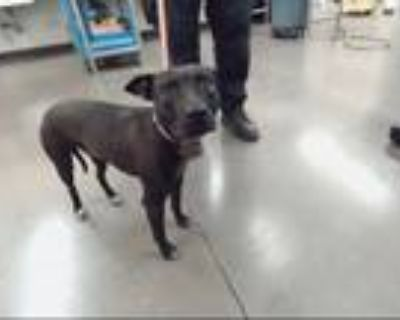 Adopt LAVAR a Pit Bull Terrier, Mixed Breed