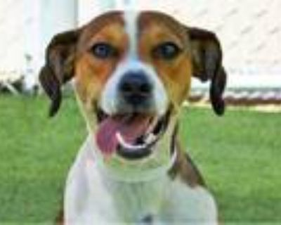 Adopt JUSTINE a Tricolor (Tan/Brown & Black & White) Harrier / Mixed dog in