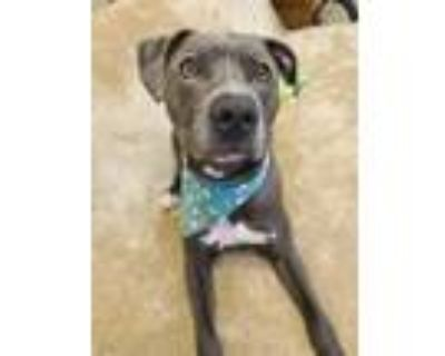 Adopt ROCCO a Pit Bull Terrier
