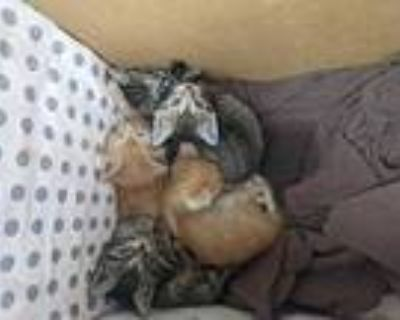 Adopt SWEET DEE a Brown Tabby Domestic Shorthair / Mixed (short coat) cat in