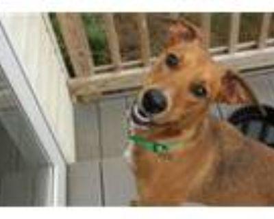 Adopt River Dog a Redbone Coonhound, Shepherd