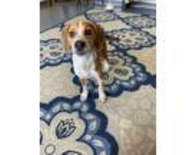 Adopt SHADY RAY a Beagle