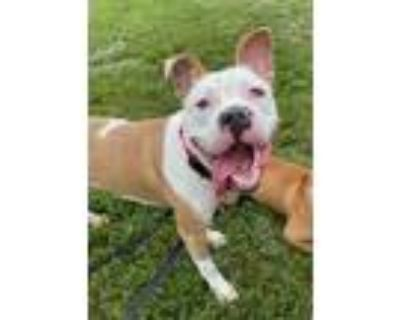 Adopt ALASKAN PIPELINE a Pit Bull Terrier