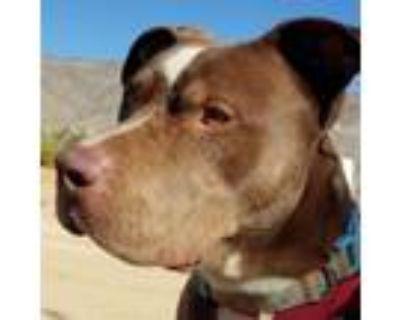 Adopt AMAZING TAYLOR a American Staffordshire Terrier, Labrador Retriever