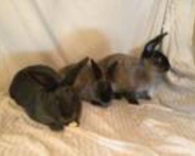 Adopt Mistletoe and Dasher a Angora Rabbit, Bunny Rabbit